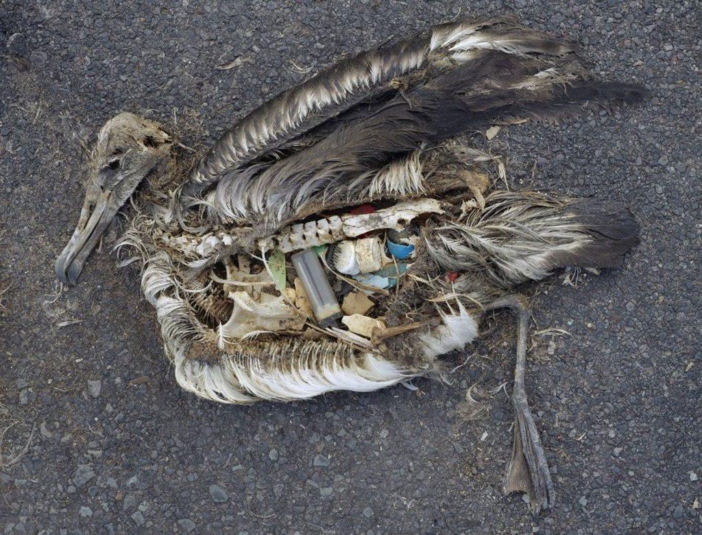 Der Mageninhalt eines toten Albatros-Jungvogels, aufgenommen im September 2009 im Midway Atoll National Wildlife Refuge im Pazifik mit Plastik-Treibgut, womit das Jungtier von seinen Eltern gefüttert wurde. Foto: Chris Jordan (US Fish and Wildlife Service), © CC BY 2.0