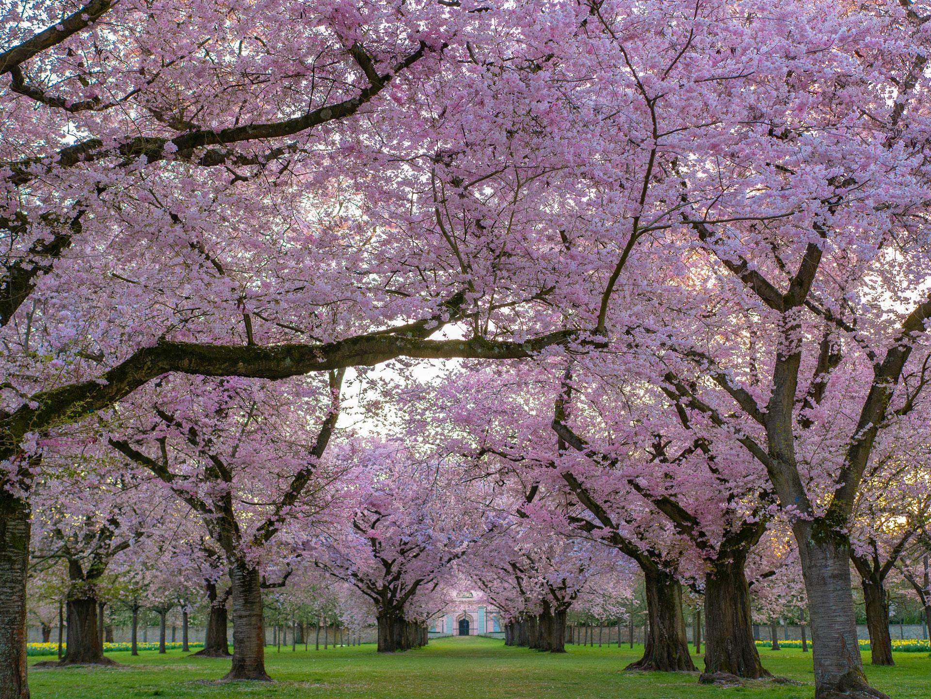 So blüht die Japanische Zierkrische im Frühjahr. Foto: Heidelbergerin